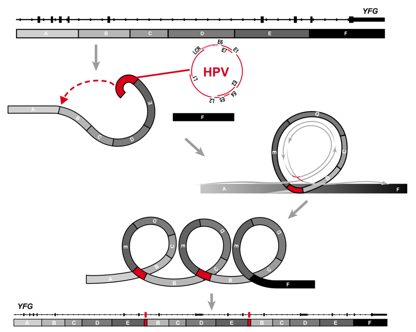 "Illustration of abnormal HPV ""looping."""