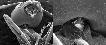 An electron microscope shows the neck region of the Allegheny mound ant.