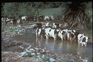 Cows allowed in a stream